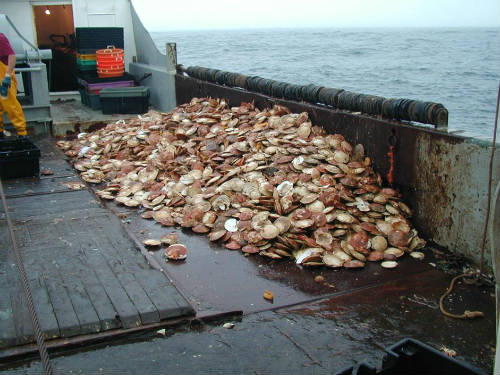 Scallop Harvest Resized.jpg