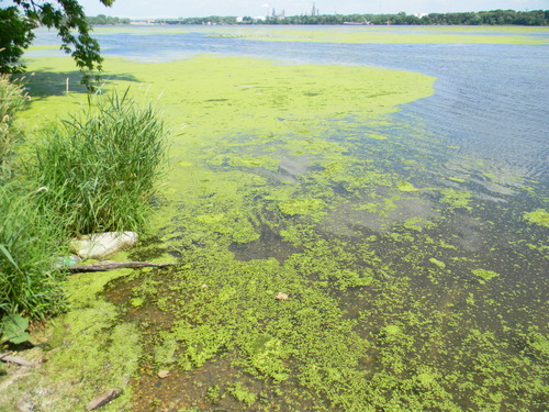 Lower Des Plaines algae 2.jpg