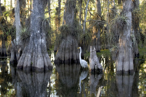 Everglades_National_Park_cypress.jpg