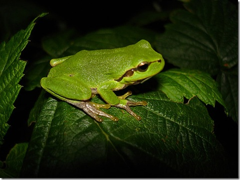 Frog by by g_kovacs via Flickr