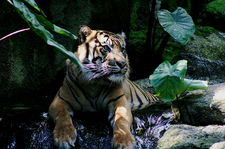 Summatran Tiger at the Melbourne Zoo (photo by Merbabu via Wikimedia Commons)