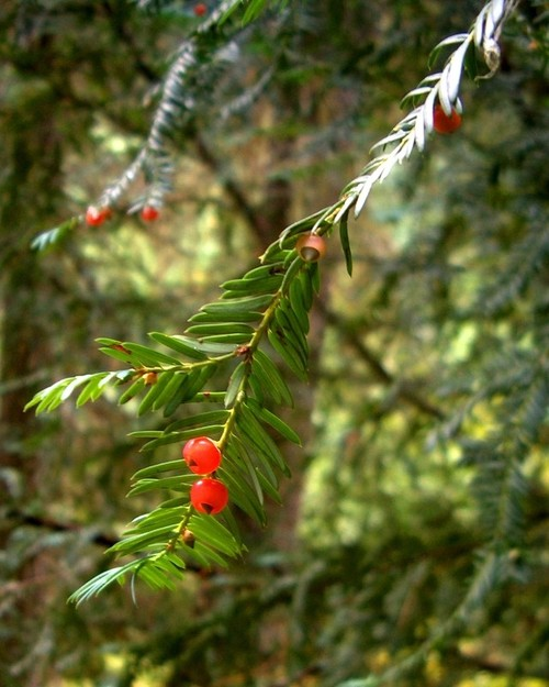 Pacific yew (Taxus brevifolia) (photo credit pellaea, creative commons license)