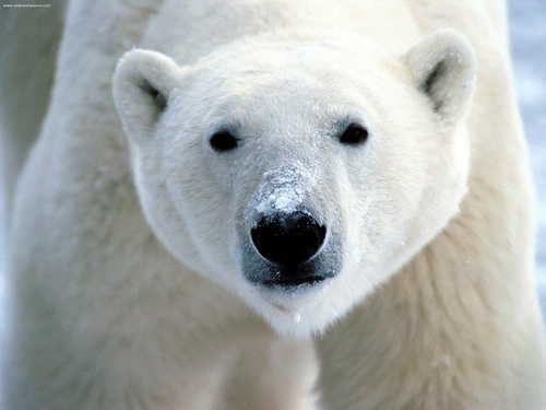 polar bear (photo credit www.kewlwallpapers.com)