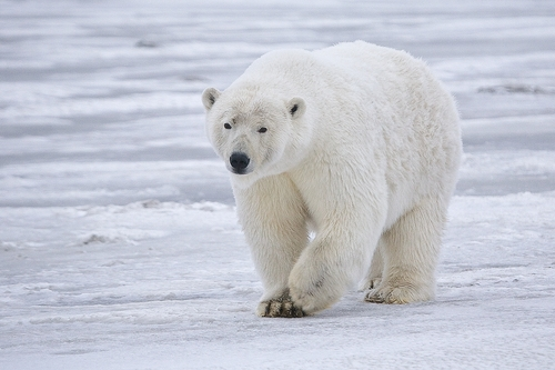 polar bear on ice (photo by rubyblossom via flickr)