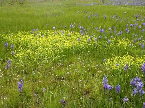 North_prairie_camas_and_buttercup_flowers_in_grass_on_field.jpg