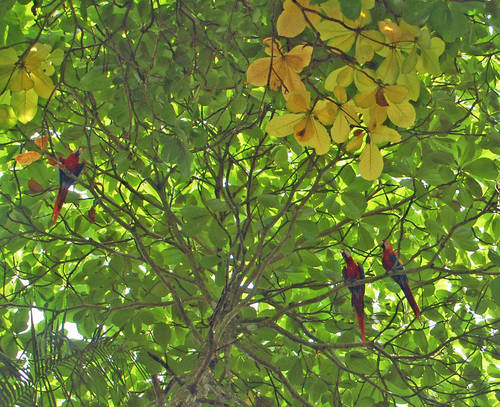 Osa Scarlet Macaws in the canopy.jpg