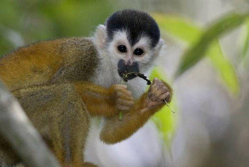 Red-backed Squirel Monkey.jpg