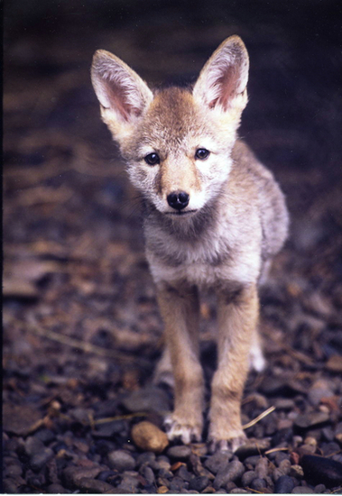 Thumbnail image for Coyote pup cut nose 300 ppi.jpg