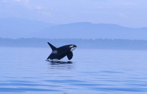 ORca photo by Kim on Flickr (cropped).jpg