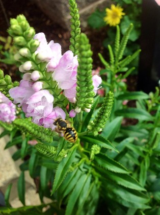 wasp on snapdragon by Mel Peffers.jpg