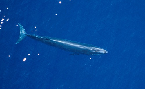 Thumbnail image for bryde's whale.noaa.jpg