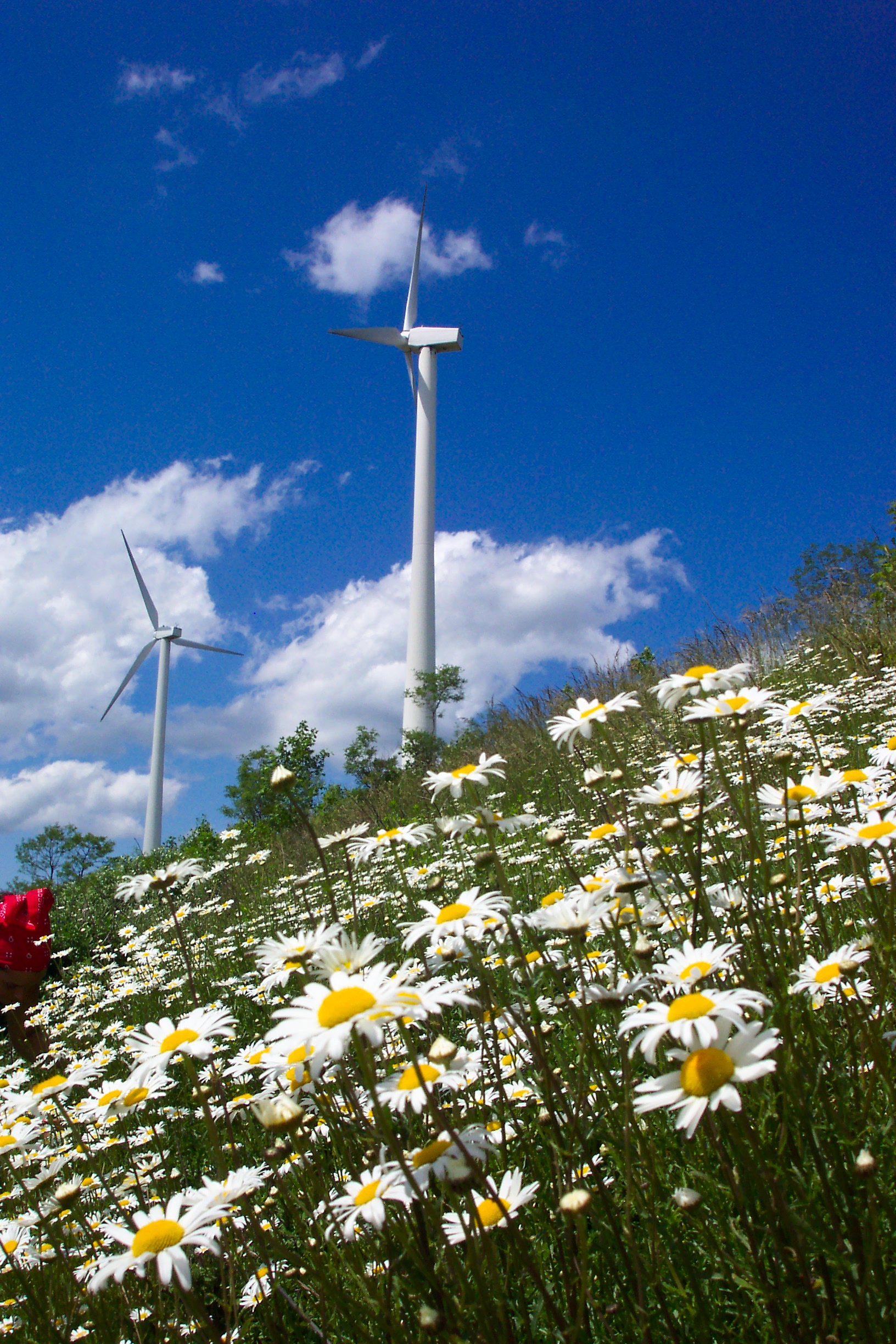 Wind turbines and daisies