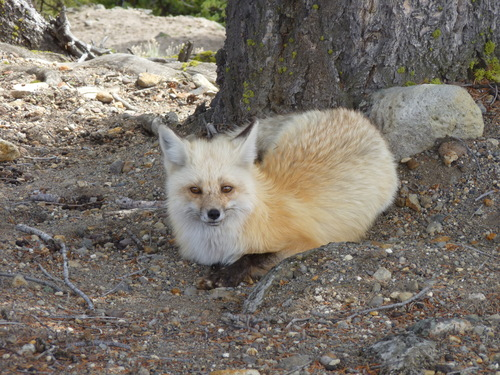mountain fox2.JPG