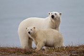 Photo of polar bear with cub