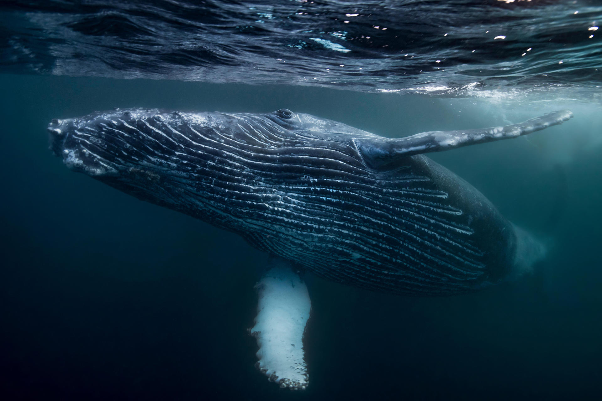 whale swimming underwater