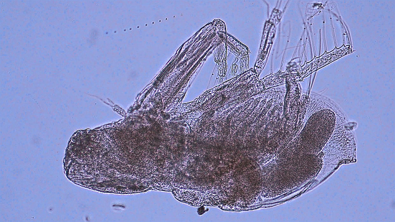 Lake Erie S New Invasive Species May Be Tiny But Its Ranks