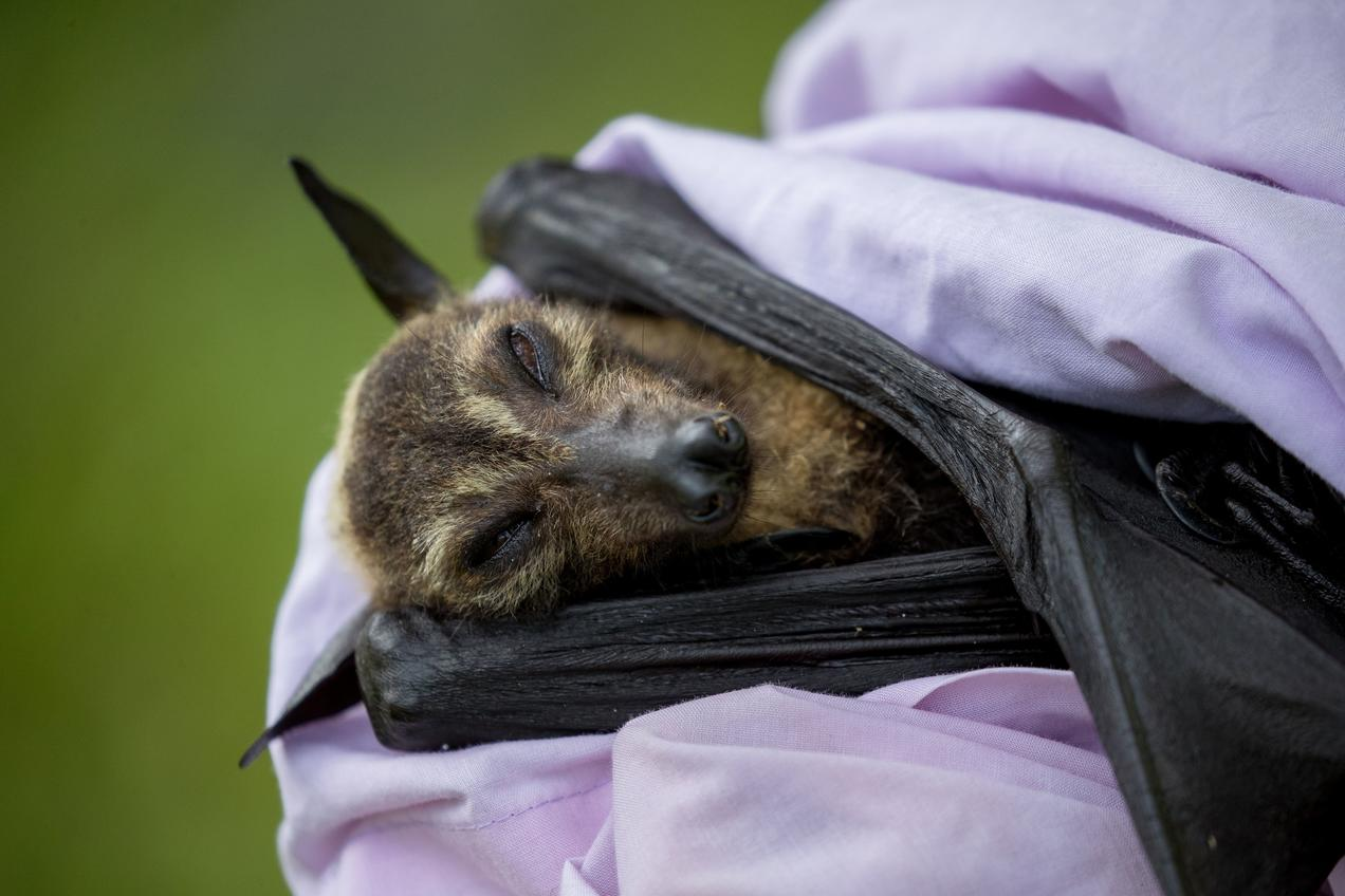 Far North Queensland Wildlife Rescue Coordinator Holding A Spectacled Flying Fox That Perished In The November 2018 Heatwave Australia