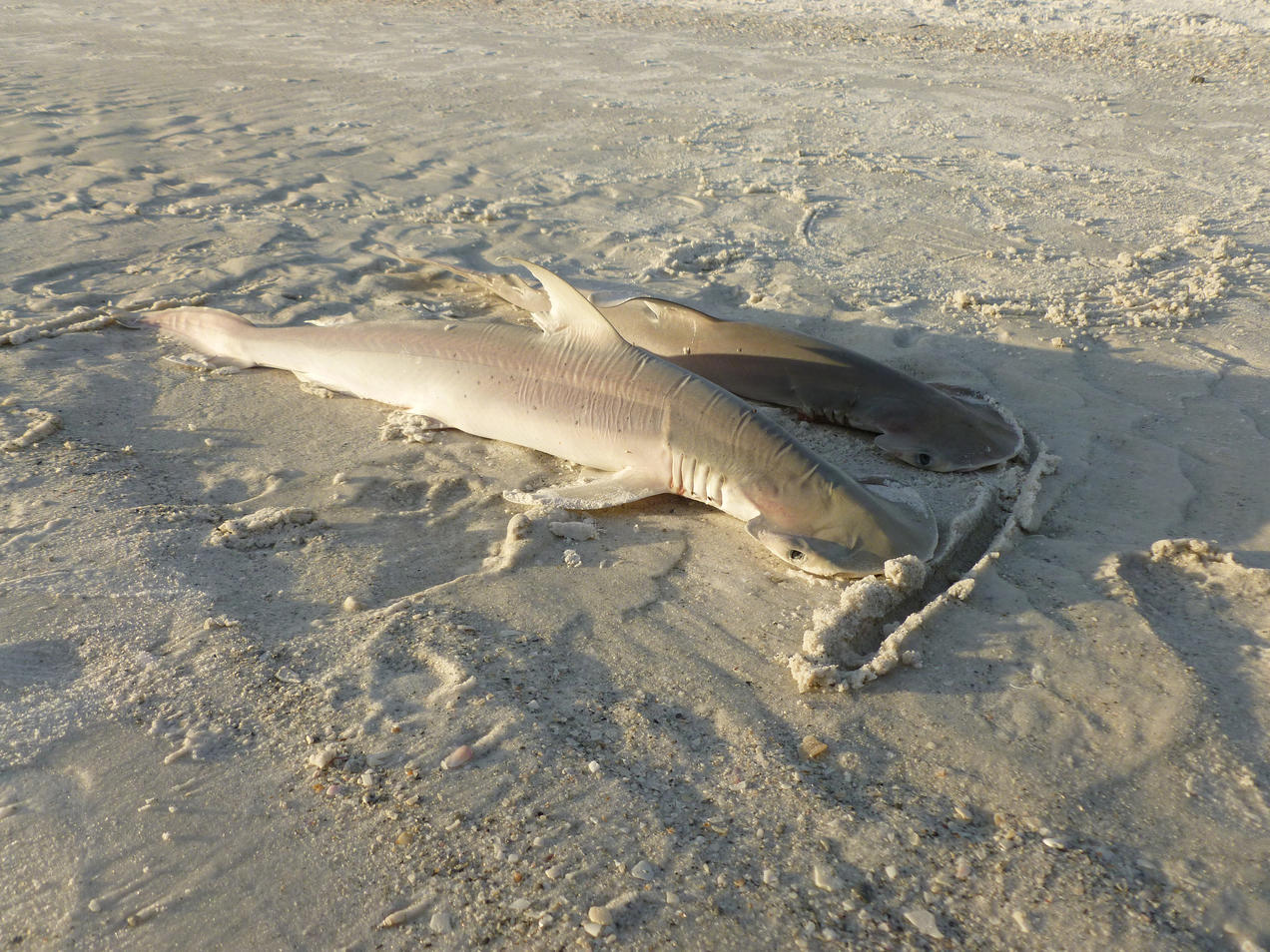 It Can't Be Legal to Drag or Shoot a Shark  Can It? | NRDC