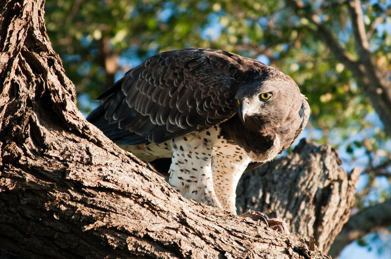 Animal Electrocuted Porn africa's largest eagle needs its space—and lots of it | nrdc