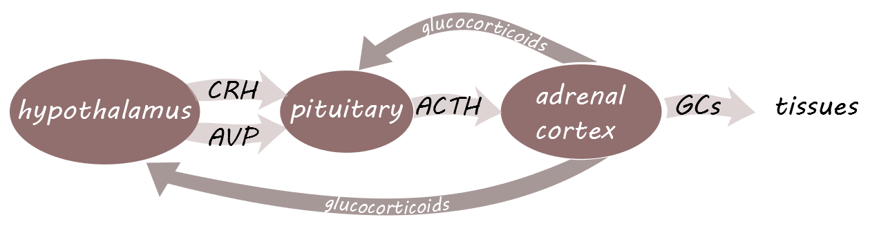 Getting to know the HPA axis | NRDC