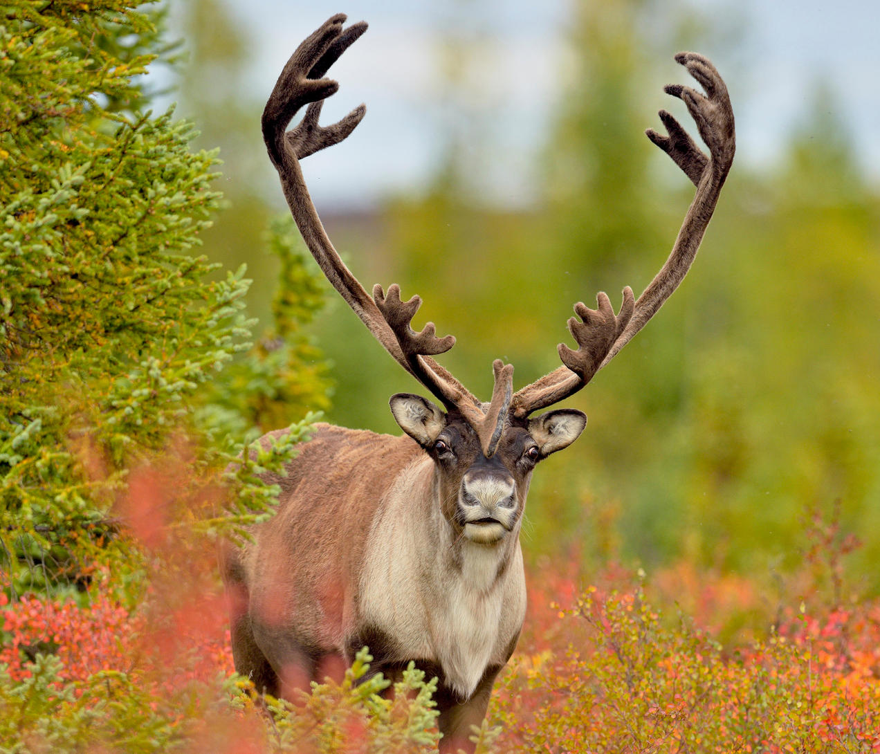 Mapping A Future For Boreal Caribou Nrdc
