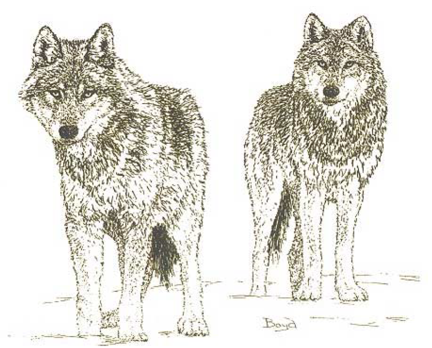 One Key To National Wolf Recovery Protecting Dispersers Nrdc