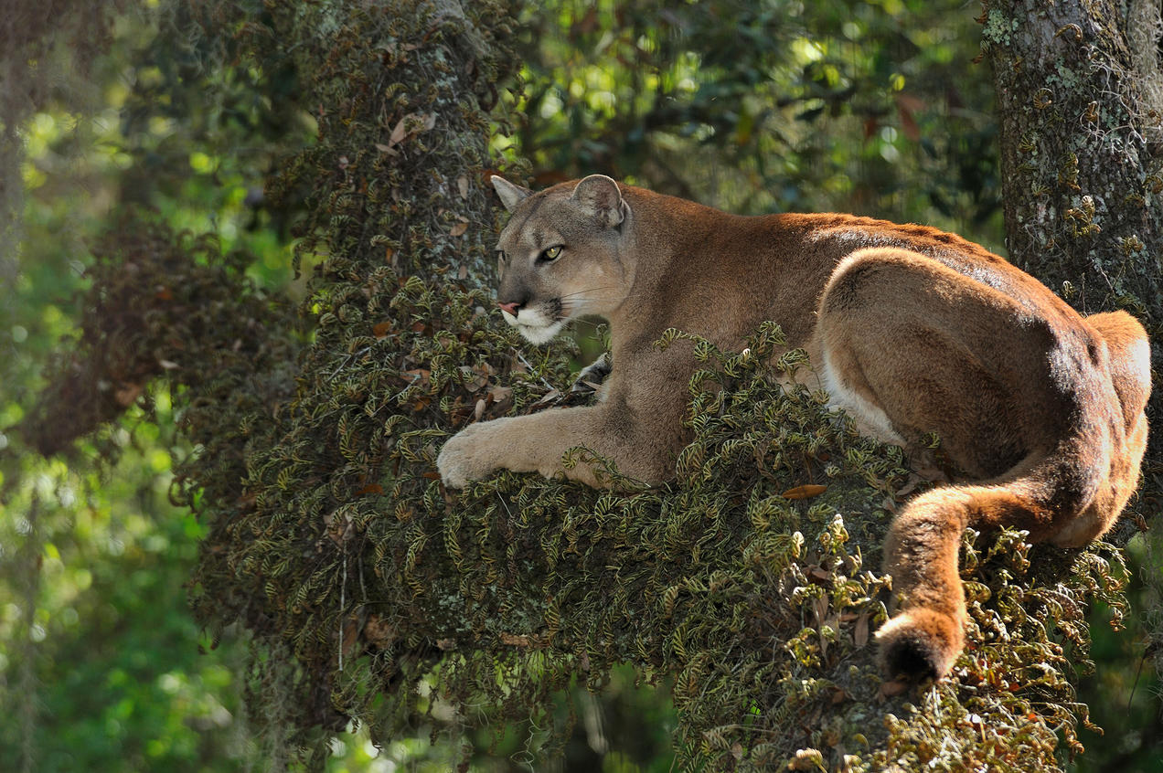 Why We Must Protect The Florida Panther Nrdc