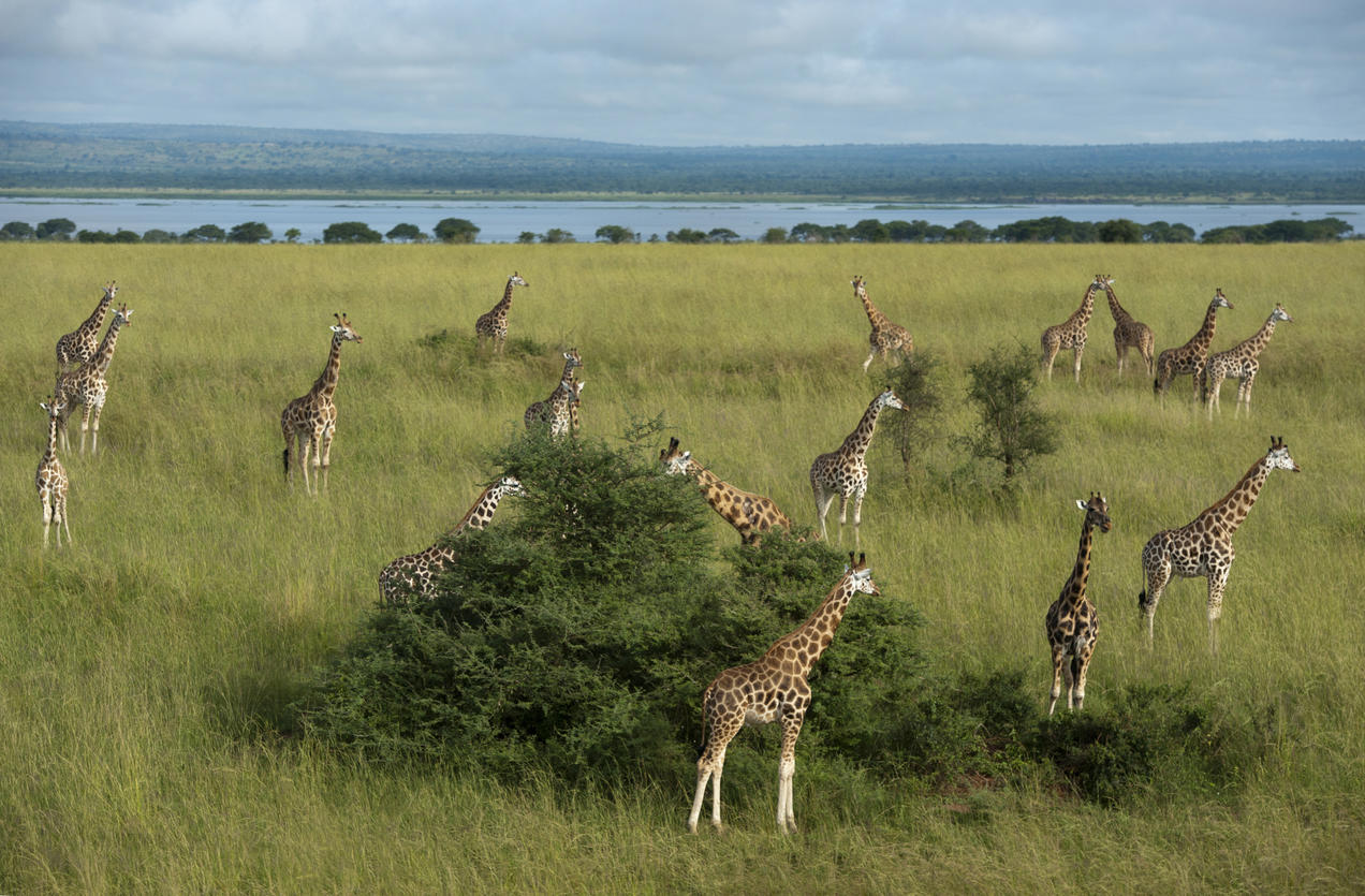 To Save These Rare Giraffes, Uganda Built an Ark (of Sorts