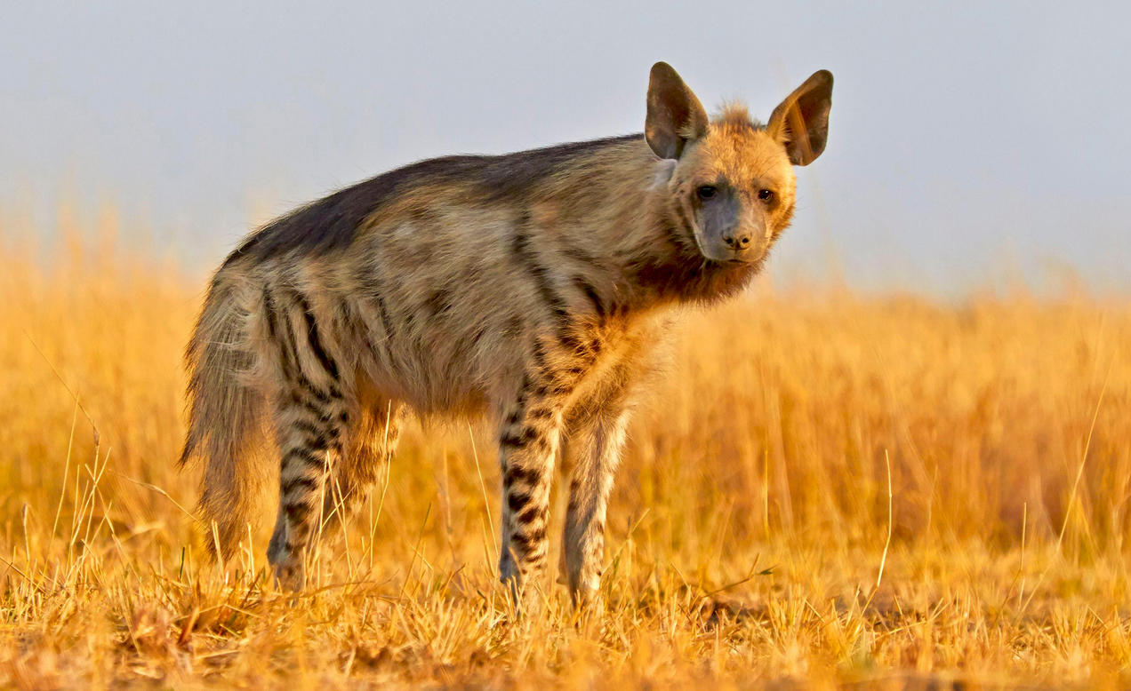 Image of: Brown Hyena Striped Hyenas Dont Have Magical Powers But Their Disappearing Act Is For Real Nrdc Striped Hyenas Dont Have Magical Powers But Their Disappearing Act