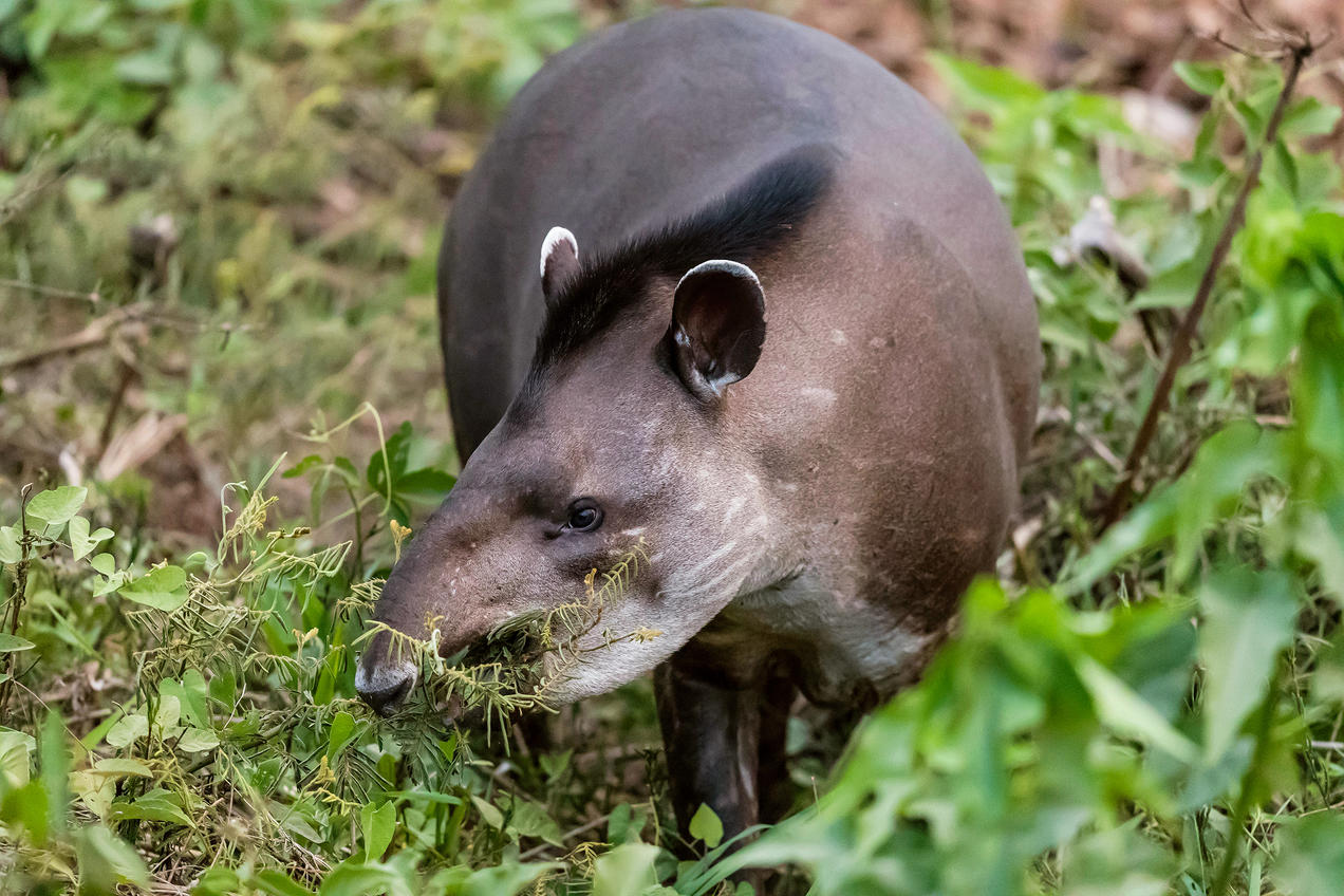 How Do You Regrow A Rainforest Send In The Tapirs Nrdc