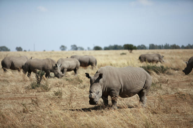 de-horned white rhinos