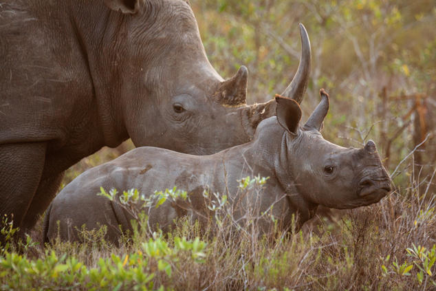 adult and baby white rhino