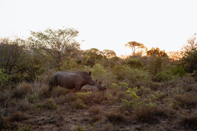 adult rhino and calf