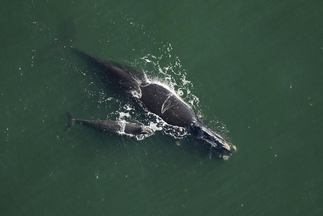 Right whale Catalog #2791 and calf