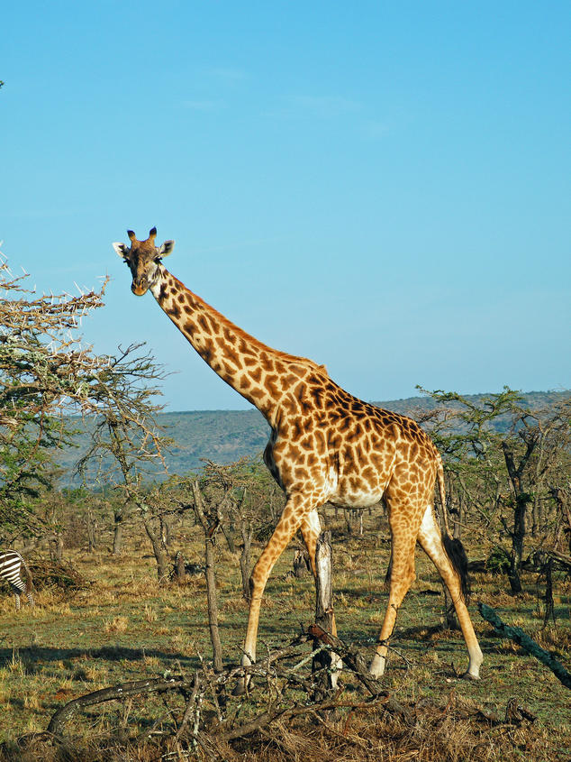 Giraffes Win International Protections To Limit Their Trade Nrdc