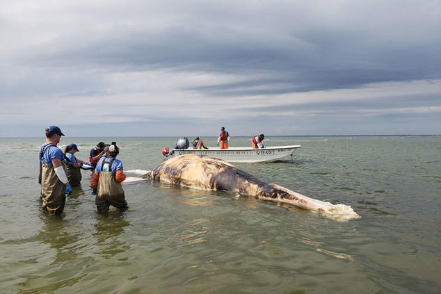 Juvenile right whale died from probable entanglement