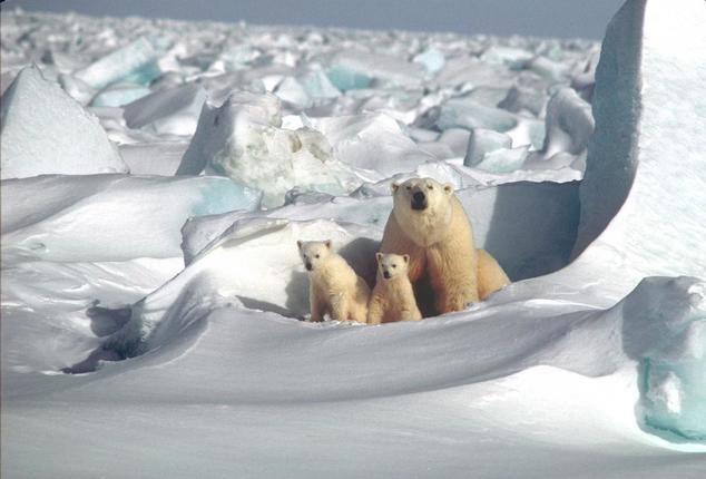 Polar bear mother and two cubs on the Beaufort Sea Ice
