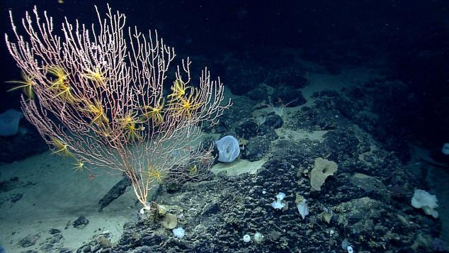 Bamboo coral on Mytilus Seamount