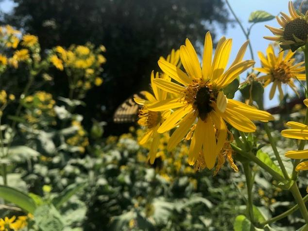 Bee loaded with pollen in field of yellow flowers, butterfly in background