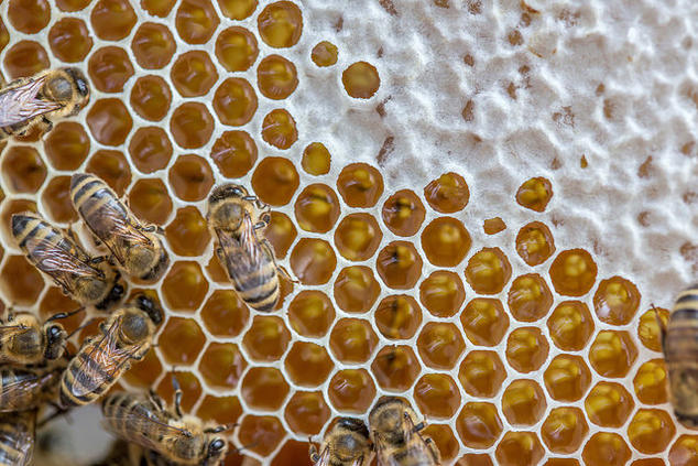 image of bees adding honey to comb