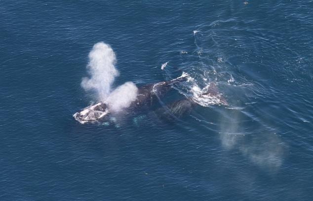 North Atlantic right whale mom calf pair