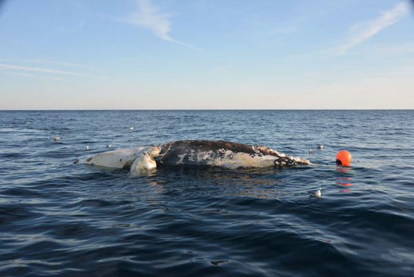 Stranded North Atlantic right whale off Virginia