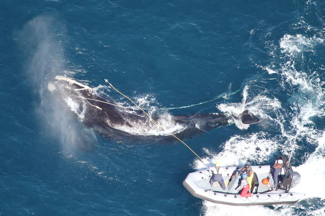 Disentanglement right whale