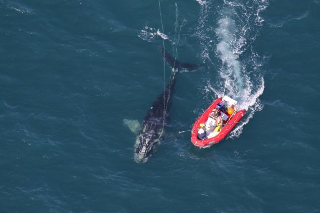 Entangled North Atlantic right whale