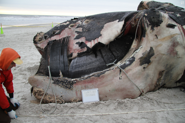 Entangled right whale necropsy