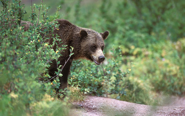 Grizzly bear in Montana
