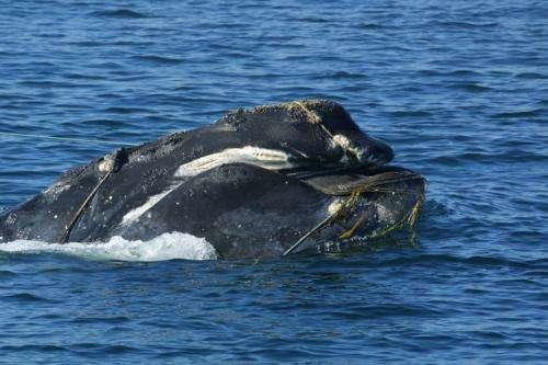Right whale entangled head