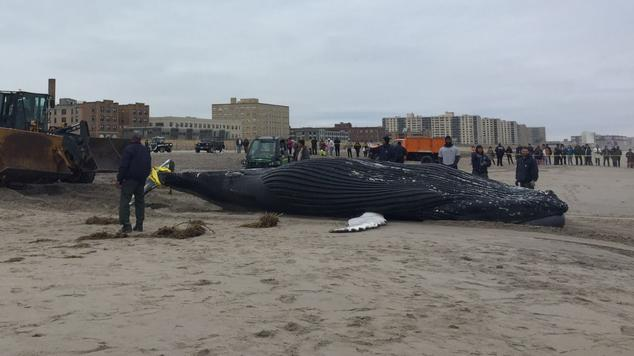 Humpback whale stranded in New York