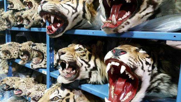 Illegal Wildlife Property, Heads of Cats
