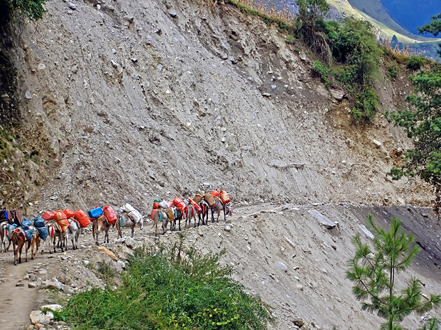 Pack mules trekking up a mountain